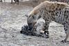 Hyena_Family_Mashatu_Botswanna__0312