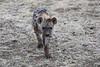 Hyena_Family_Mashatu_Botswanna__0294