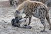 Hyena_Family_Mashatu_Botswanna__0314