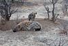 Hyena_Family_Mashatu_Botswanna__0300
