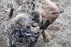 Hyena_Family_Mashatu_Botswanna__0299