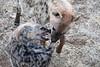 Hyena_Family_Mashatu_Botswanna__0298
