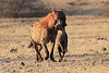 Hyena_Carrying_Pup_Mashatu_Botswana0034