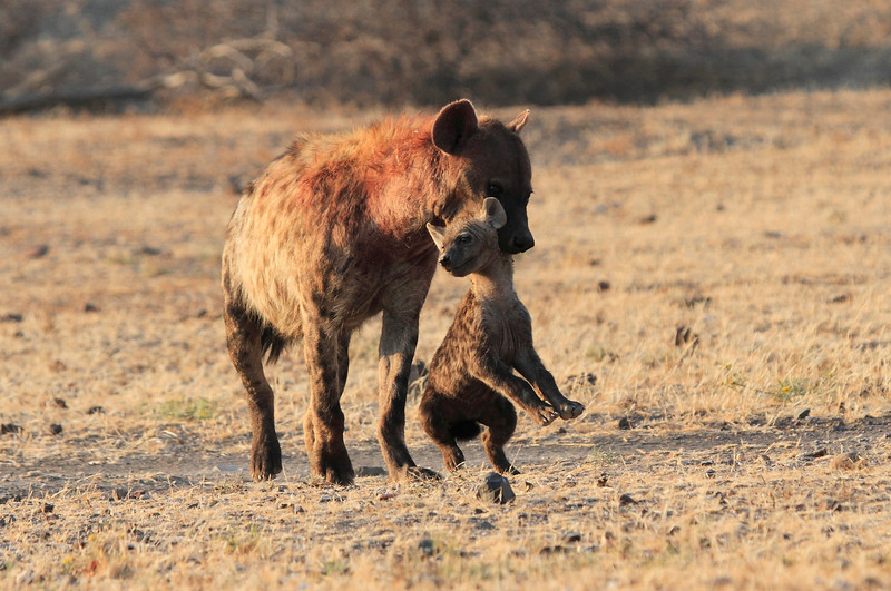 Hyena_Carrying_Pup_Mashatu_Botswana0032