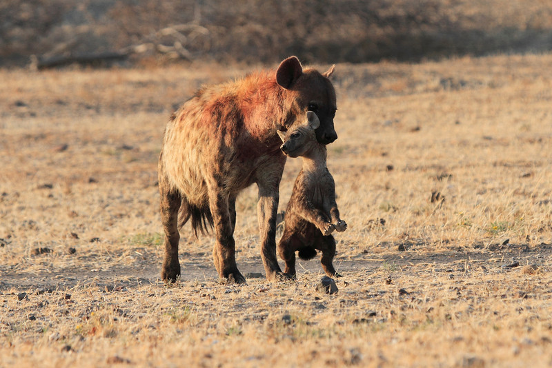 Hyena_Carrying_Pup_Mashatu_Botswana0031