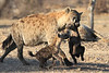 Hyena_Carrying_Pup_Mashatu_Botswana0007