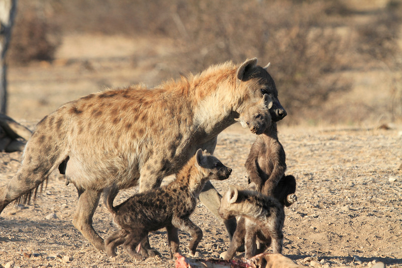 Hyena_Carrying_Pup_Mashatu_Botswana0014