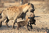 Hyena_Carrying_Pup_Mashatu_Botswana0011