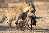 Hyena_Carrying_Pup_Mashatu_Botswana0010