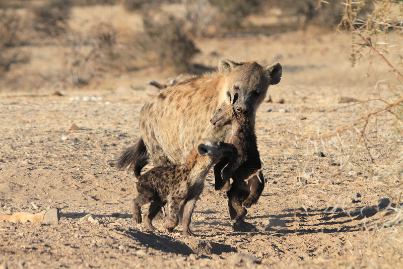 Hyena_Carrying_Pup_Mashatu_Botswana0019