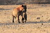 Hyena_Carrying_Pup_Mashatu_Botswana0027