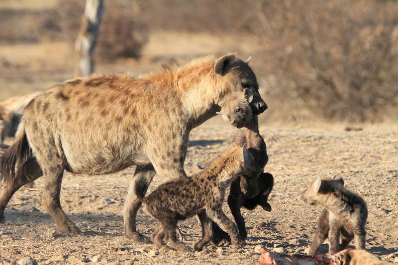 Hyena_Carrying_Pup_Mashatu_Botswana0013