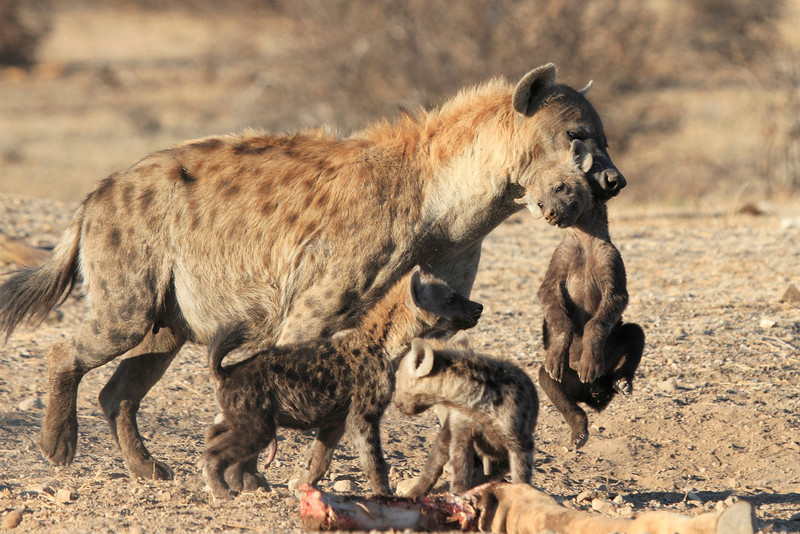 Hyena_Carrying_Pup_Mashatu_Botswana0015