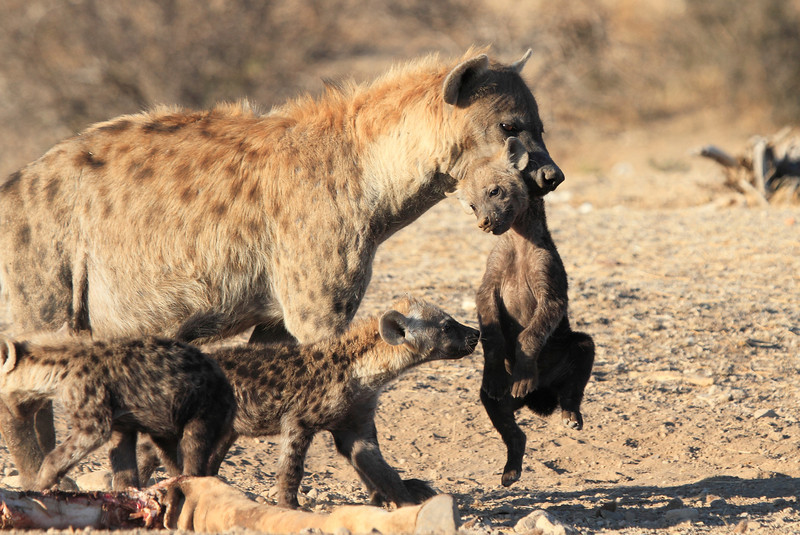 Hyena_Carrying_Pup_Mashatu_Botswana0016