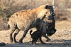 Hyena_Carrying_Pup_Mashatu_Botswana0005