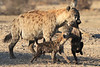 Hyena_Carrying_Pup_Mashatu_Botswana0009