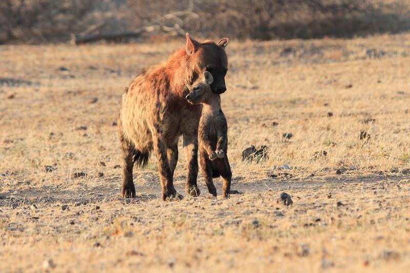 Hyena_Carrying_Pup_Mashatu_Botswana0030