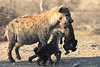 Hyena_Carrying_Pup_Mashatu_Botswana0006