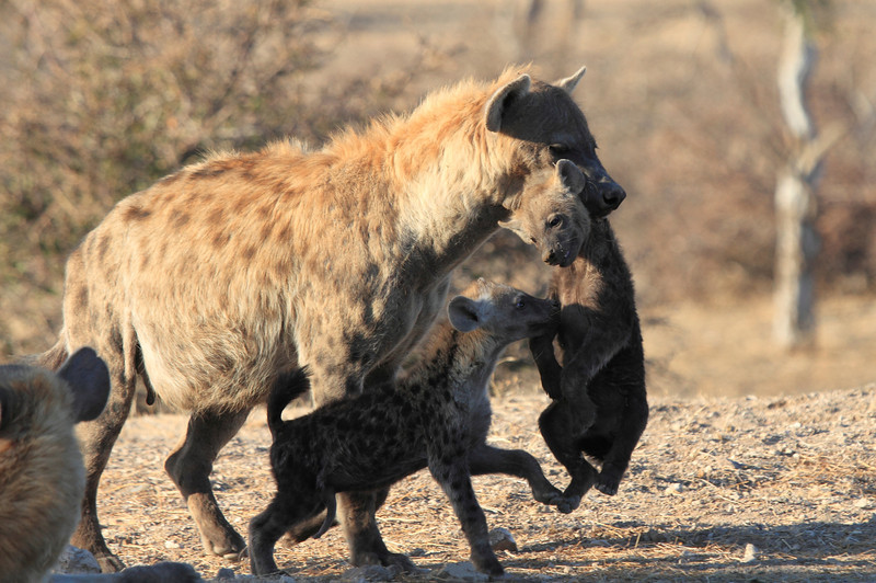 Hyena_Carrying_Pup_Mashatu_Botswana0003