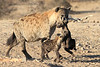 Hyena_Carrying_Pup_Mashatu_Botswana0018