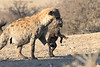 Hyena_Carrying_Pup_Mashatu_Botswana0022