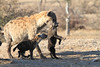 Hyena_Carrying_Pup_Mashatu_Botswana0021