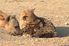Hyena_Suckling_Mom_Mashatu_Botswana0071