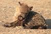 Hyena_Suckling_Mom_Mashatu_Botswana0078