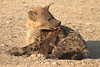 Hyena_Suckling_Mom_Mashatu_Botswana0073