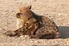 Hyena_Suckling_Mom_Mashatu_Botswana0066