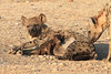 Hyena_Suckling_Mom_Mashatu_Botswana0055