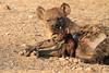 Hyena_Suckling_Mom_Mashatu_Botswana0057