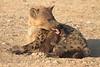 Hyena_Suckling_Mom_Mashatu_Botswana0072