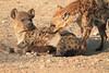 Hyena_Suckling_Mom_Mashatu_Botswana0045