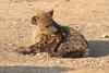 Hyena_Suckling_Mom_Mashatu_Botswana0064