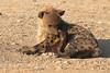 Hyena_Suckling_Mom_Mashatu_Botswana0061