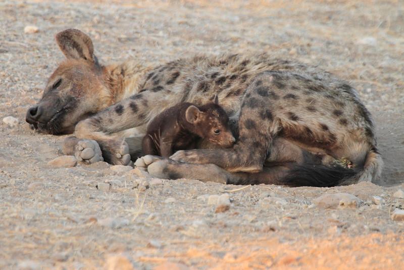 Hyena_Suckling_Mom_Mashatu_Botswana0006