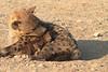 Hyena_Suckling_Mom_Mashatu_Botswana0070