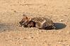 Hyena_Suckling_Mom_Mashatu_Botswana0059