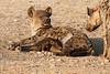 Hyena_Suckling_Mom_Mashatu_Botswana0050