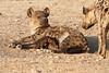 Hyena_Suckling_Mom_Mashatu_Botswana0049