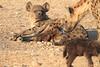 Hyena_Suckling_Mom_Mashatu_Botswana0058