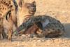 Hyena_Suckling_Mom_Mashatu_Botswana0046