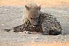 Hyena_Suckling_Mom_Mashatu_Botswana0012