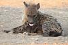 Hyena_Suckling_Mom_Mashatu_Botswana0014