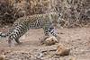 Leopard_Cub_Mashatu_Botswanna__0023