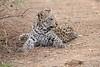 Leopard_Cub_Mashatu_Botswanna__0026
