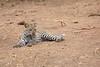 Leopard_Cub_Mashatu_Botswanna__0003