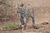 Leopard_Cub_Mashatu_Botswanna__0029