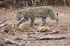 Leopard_Cub_Mashatu_Botswanna__0021